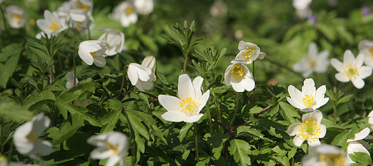 hvide_anemoner_2295